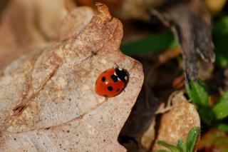 7 spot ladybird Coccinella-7